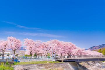 日本の春 神奈川県秦野市 金目川沿いの桜並木