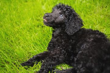 Black poodle puppy looking upwards