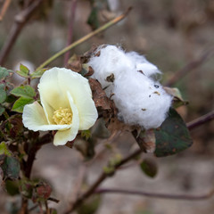 Flower and open box of ripe cotton plants on a blurred background. Greece