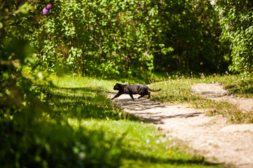 Homeless black cat crossing the road in park with green bushes around in spring.