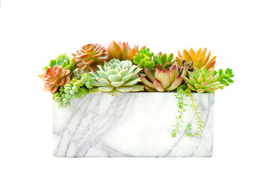 Detail of various types of red and green succulent flowering houseplant arrangement in marble planter white background