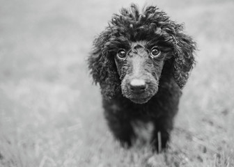 Cute poodle puppy in black and white