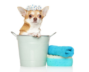 Care and washing of a small Chihuahua dog