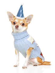 Chihuahua in warm clothes and a party cone