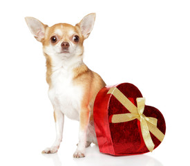 Chihuahua and red Valentine heart