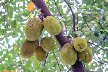 a jackfruit on the jackfruit tree
