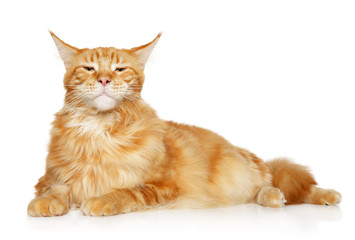 Important Maine coon lies on a white background