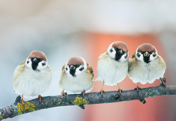 Deurstickers Vogel small plump funny baby bird Sparrow sitting on a branch in the garden and look hungry waiting for parents
