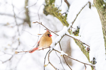 Closeup of one fluffed, puffed up orange, red female cardinal bird side, perched on sakura, cherry tree branch, covered in falling snow with buds during heavy snowing, snowstorm, storm in Virginia