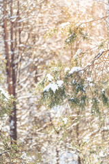 Closeup vertical view of pine tree snow covered branches, forest, woods with many trees, bokeh, sunlight, sun, sunshine, warm light, backlight in backyard, heavy snowing, snowstorm, storm, cold winter