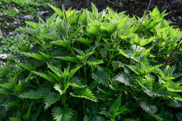 nettle herb in nature,pure and beneficial plant from its healing and natural source