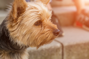 Head of yorkshire terrier in profile