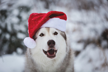 Close-up Portrait of cute Siberian Husky dog wearing santa claus hat in the winter forest on snow background