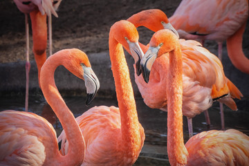 Picture of group of flamingos watching in the camera