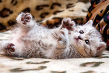 Little cute spotted British kitten gray white color lies upside down on the couch lifting paws up