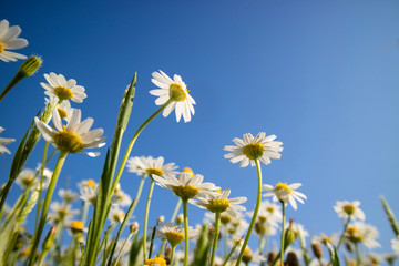 Small spring daisies