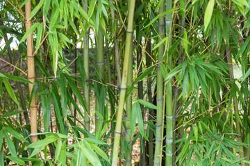 Fotobehang Bamboo Group of Bamboo Tree Stems