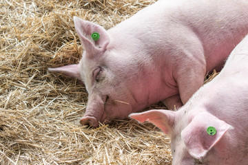 Two fat pink pigs sleep on hay and straw at pig breeding farm. Pork plant