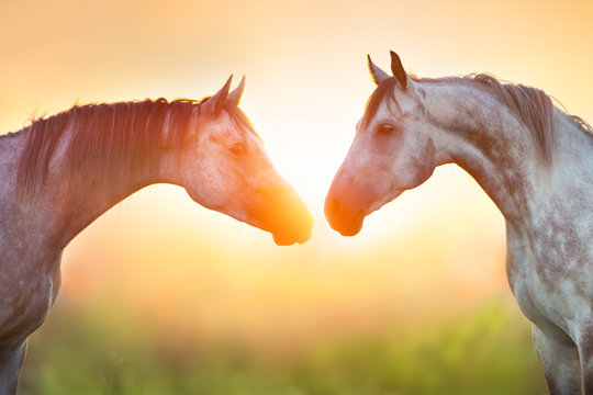 Two grey arabian horse portrait at sunrise light