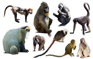 set of primates