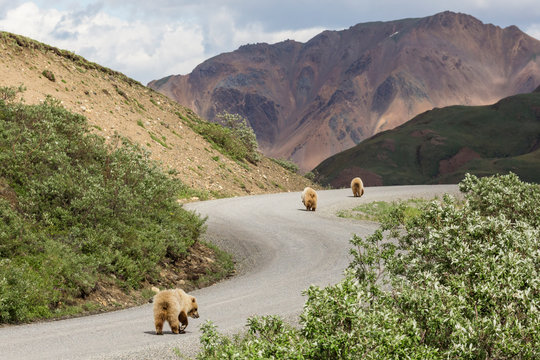 Wild grizzly bears walking down the road in Denali National Park