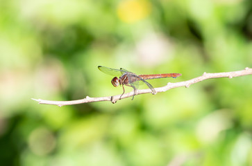 A Female Carmine Skimmer Dragonfly (Orthemis discolor) Perched on a Twig in Punta de Mita, Nayarit, Mexico