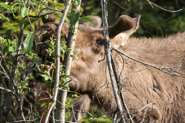 Wild moose in Denali National Park (Alaska).