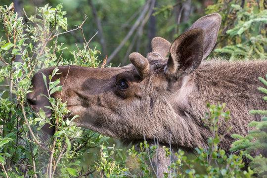 Wild moose in Denali National Park (Alaska).