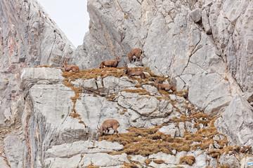 Wild mountain goats in Lechquellengebirge mountains
