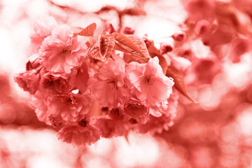 Sakura coral flower. Living coral colors. Color of the year 2019.
