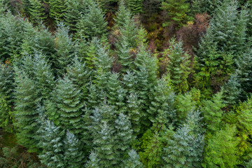 Overhead aerial view of an evergreen pine tree forest