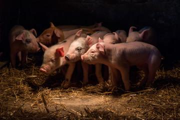 Newborn baby pigs in the straw nest