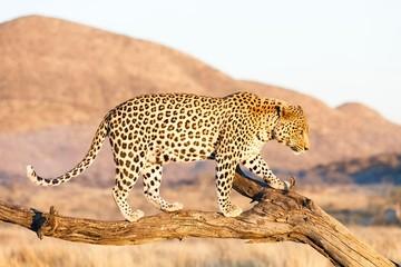 Leopard (Panthera pardus), on tree, Okahandja, Namibia, Africa