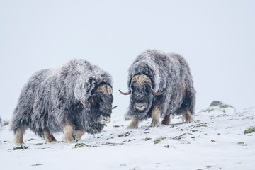 Musk oxes (Ovibos moschatus), two males in a snowstorm, Dovrefjell-Sunndalsfjella National Park, Norway, Europe