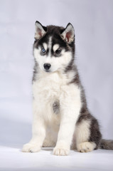 Siberian husky black and white purebred  puppy on gray studio background close-up