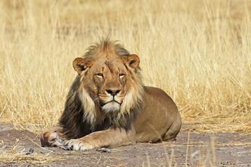 Löwenmännchen (panthera leo) im Etosha Nationalpark (Namibia) Papier Peint