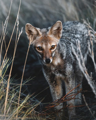 Young Red fox standing in wilderness