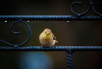 yellow gold finch sitting on metal garden gate. Dark background with rain drops. Bokeh background, selective focus.