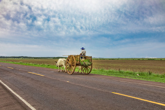 A local Paraguayan transports sugarcane with his ox cart.