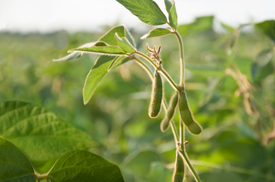 Young soybean pods in a soybean field on a sunny day.