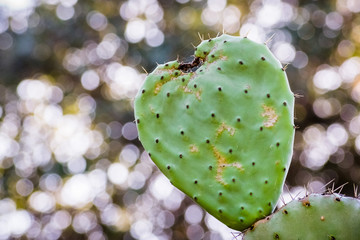 Heart shaped prickly pear cactus leaf; blurred background