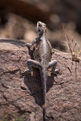 Agama lizard on rock