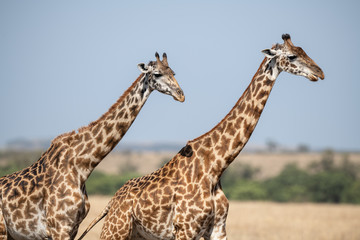 giraffe couple in savanna