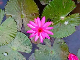 Lotus in pool vol.24