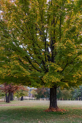 Fall colored maple tree