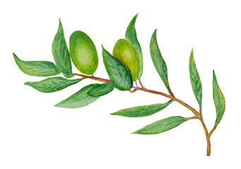 Watercolor olive branch with the green berries.