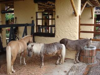 caballos pequeños ponis