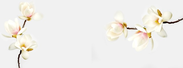 Poster de jardin Magnolia Beautiful magnolia flower on white background.