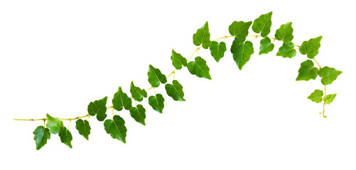 Closeup of waved ivy twig with small green leaves Wall mural