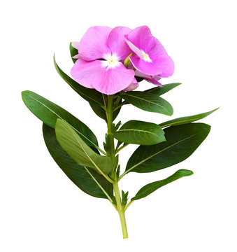 Closeup of catharanthus flowers and leaves
